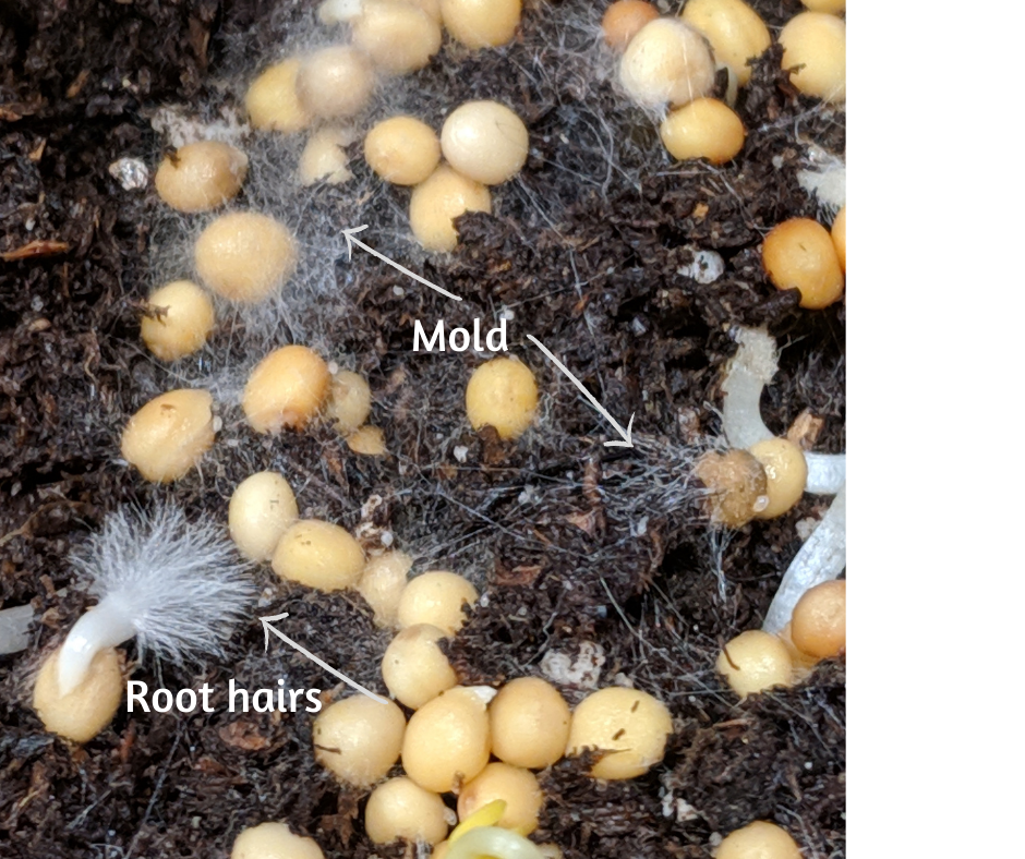 a description of mold vs root hairs