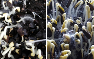 Root hairs vs mold on buckwheat microgreens