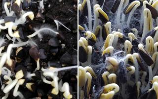 Root hairs vs mold on buckwheat microgreens